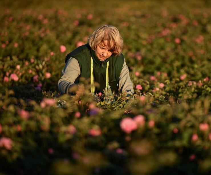 克里米亚田间玫瑰花盛开