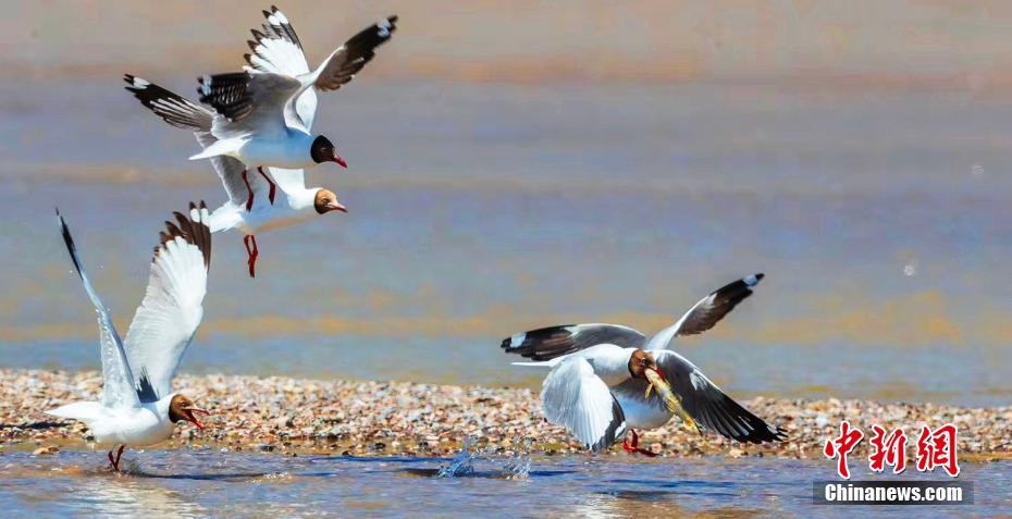 棕头鸥岸边抢食湟鱼