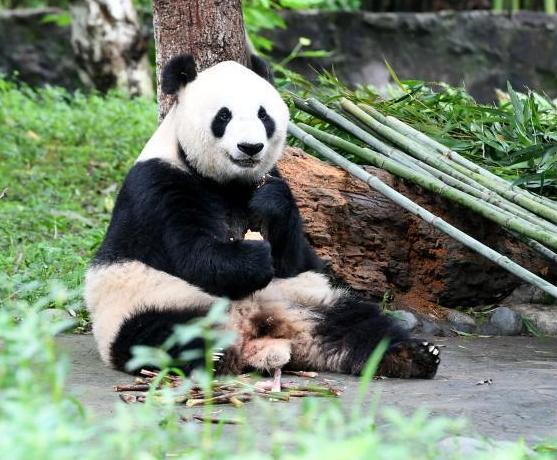 大熊猫夏日卖萌憨态可掬