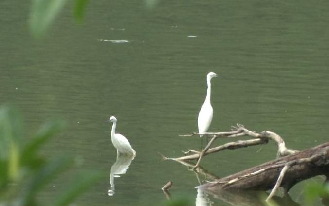 蓬江区兰石公园飞来了一群白鹭 吸引众多游客观赏