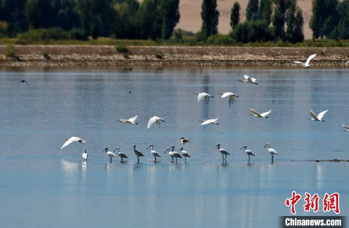 白琵鹭迁飞甘肃黑河